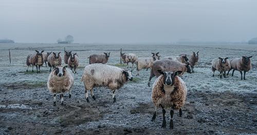 middendelfland fence fog frost grass grassland landscape shed sheep nederlandvandaag