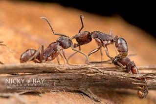 Ants (Odontoponera sp.) - DSC_5300