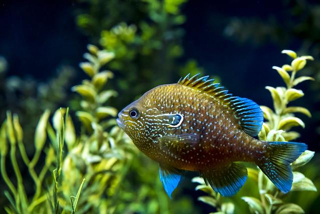 Sunfish spawning territorial display