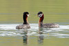Red-necked Grebes Discussing by rickdunlap2