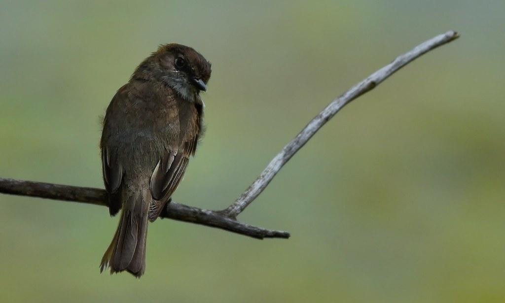 ??? SVP quel est cet oiseau - HELP what is this bird - Cómo se llama ??? ------  Moucherolle phébi ---------  ---------- Merci  Sylvain Messier  ---------