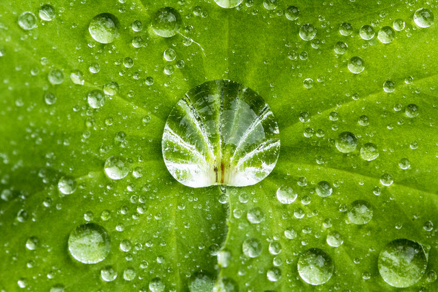 Ladies Mantle green leaf with central shell raindrop