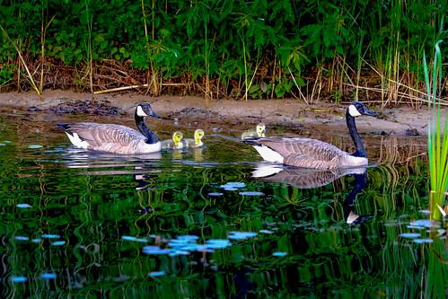 bird canadagoose wildlife kinnelon newjersey unitedstates us michael bateman photography michaelbateman