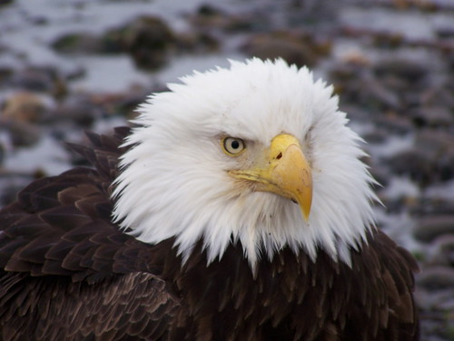 bald eagle | by AlaskaNPS
