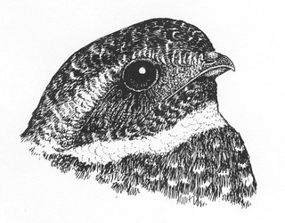 Fred the Common Nighthawk   by Laura Erickson