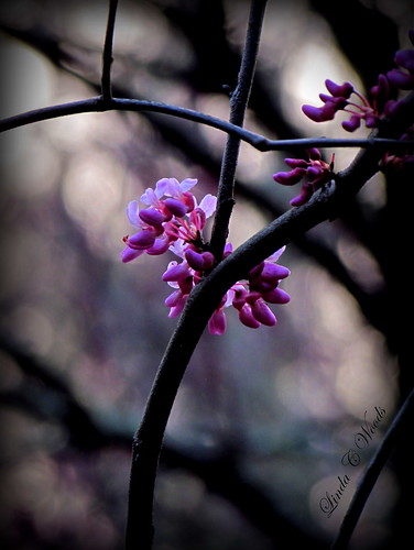pink sunset evening glow redbud easternredbud