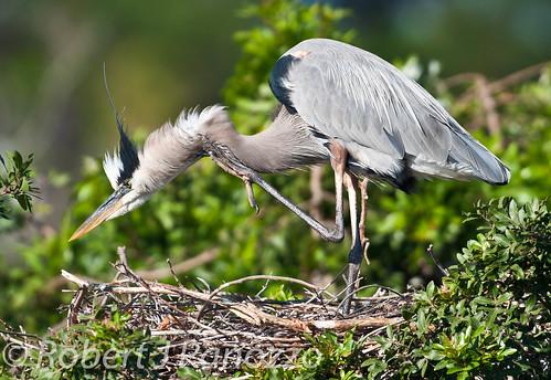 bird heron greatblueheron rookery naturesgallery goldwildlife mothernaturesgreenearth amazingwildlifephotography veniceareaaudubonsocietyrookery