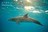 Bimini – delfín v záři slunce, foto: Atmoji ©WildQuest