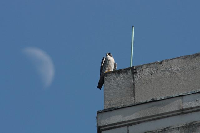 Peregrine falcon (Falco peregrinus) Manchester 2011  flickr A.Dancy
