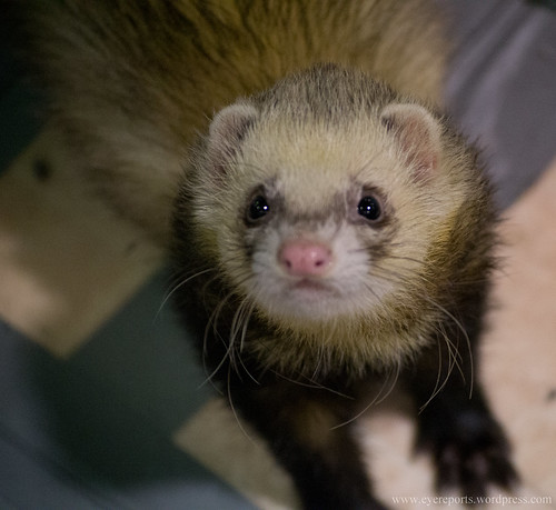 ferret   by gomagoti