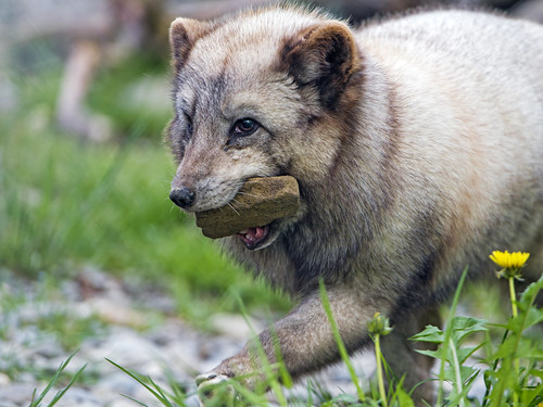 Polar fox with stone in the mouth   by Tambako the Jaguar