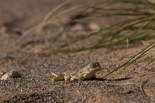 Gobi lizard