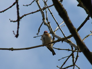 Lofty Perch   Goldfinch perched overhead in a tree