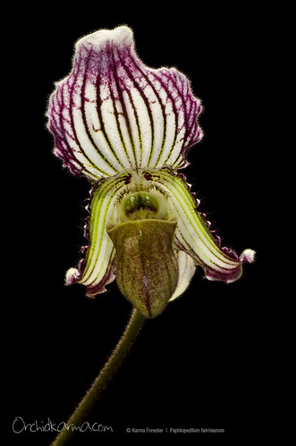 Paphiopedilum fairrieanum | by orchidkarma