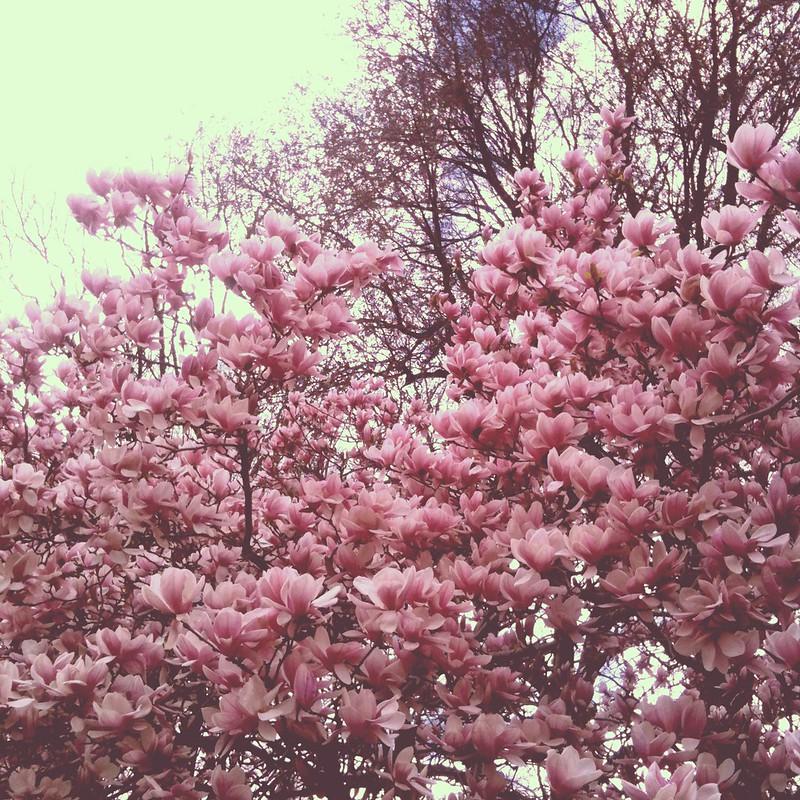 magnoliaträd i central park IV