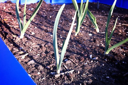 Garlic | by milly and tilly