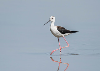 Black-winged Stilt | by tickspics