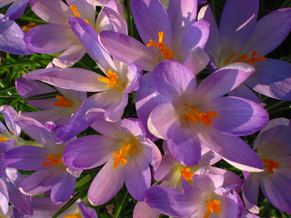 Crocuses at the Temperate House   by Laura Nolte