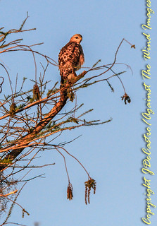Lofty Perch-7254   Florida red tail hawk at Grassy Waters