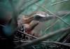 Mesitornis variegata Ank 08 DFL by barbetboy