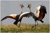 Grey Crowned Crane dance - Balearica regulorum @ Ntoroko Semliki Valley Uganda 2010 by Jan Rillich