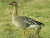 Tundra Bean Goose, Burnham Overy (Norfolk), 4-Feb-12 by Dave Appleton