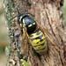 Vespula rufa (Red Wasp)