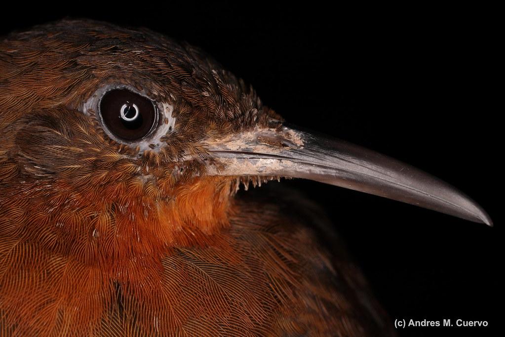 "Sclerurus andinus (""Chapman's Leaftosser"")"