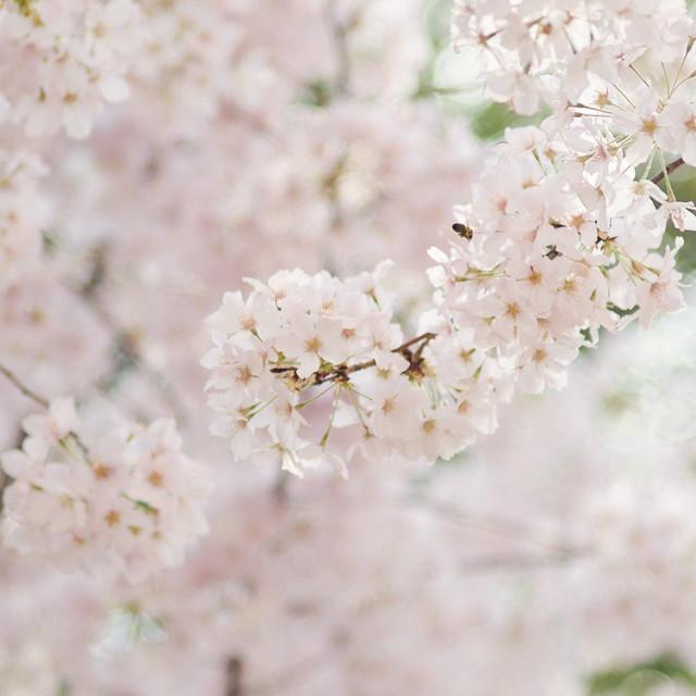 Cherry Blossom '14