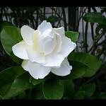 Gardenia jasminoides 冰清玉潔月魂,白雪綠翠幽馨。 #gardenia #GardeniaJasminoides #gardeniajasminoides #garden #flowers #梔子花 #白蟾花 #白蟬 #梔子 #黃梔 #黃梔花 #山梔花 #枝子花 #水橫枝 #玉荷花 #木丹 #越桃 #myfavorite #flower