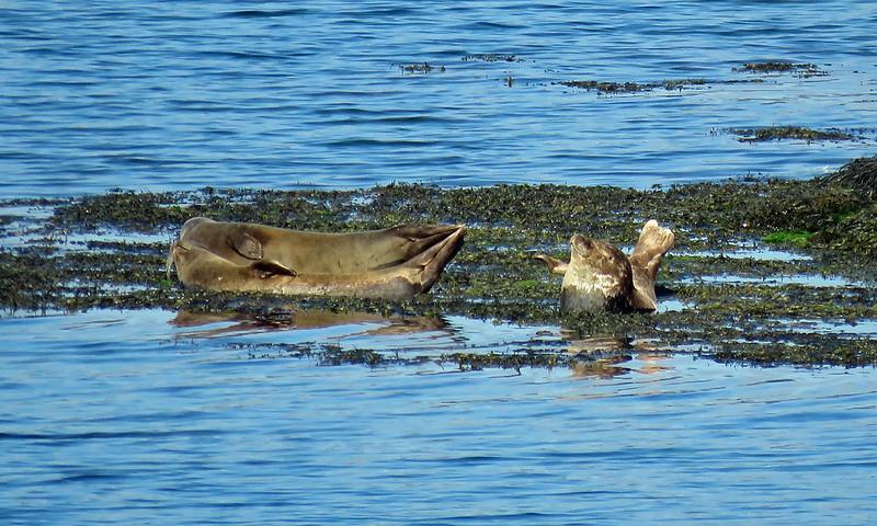 Harbour Seals - Phoca vitulina