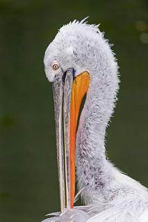 Pelican grooming | by Tambako the Jaguar