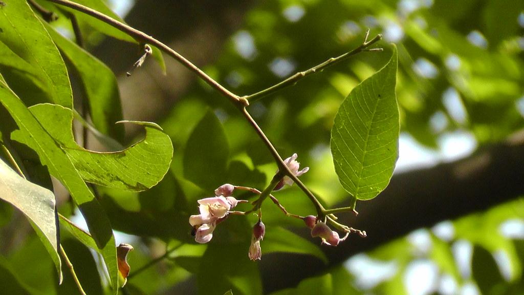 Piscidia piscipula Fabaceae Rani Bagh 2012_04_01 2