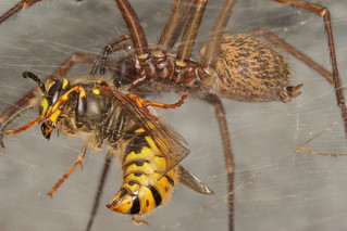 Queen wasp and house spider   by andybadger