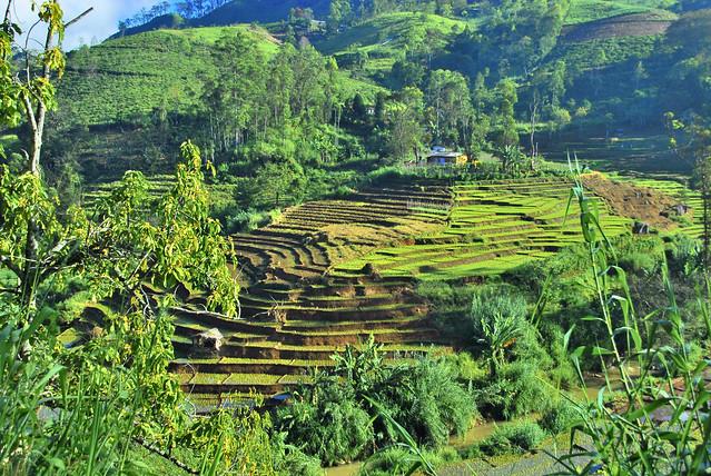 Sri Lanka terrace ricefield