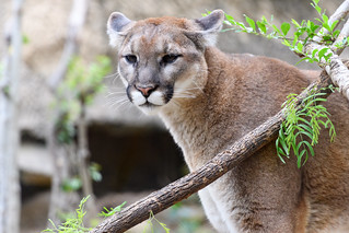 Cougar Peeking Out | by Eric Kilby