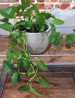 Pothos In Concrete Pot — Shirley's Flowers & Gifts, Inc., in Rogers, Arkansas | by Flower Factor