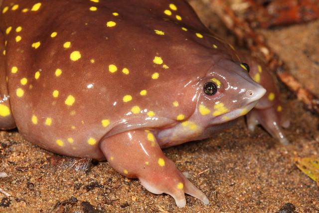 Spotted Shovel-nosed Frog - Hemisus gutattus