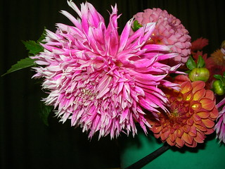Dahlia 'DD Frosted Lace' (pink fimbriated)