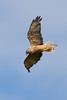 Australasian Harrier Hawk - Circus approximans [Accipitridae] by Grant Reaburn