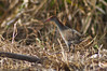 Slaty-breasted Rail by 9dr7