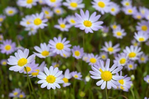 white flower purple form asteraceae astranthium entireleafwesterndaisy astranthiumciliatum