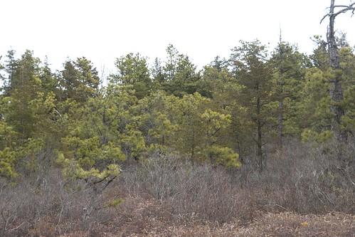 forest landscape newjersey unitedstates pinelands pinebarrens brownsmills lebanonstateforest whitesbog whitesbogvillage brendantbyrnestateforest newjerseypinelands
