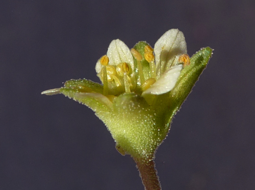 Saxifraga moschata Wulfen -Saxifrage musquée