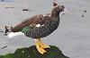 Kelp Goose Chloephaga hybrida DSC_0379 by Mary Bomford