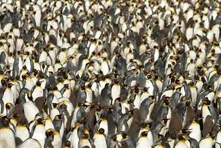 King penguins, Salisbury Plain, Bay of Isles South Georgia (UK) | by brian.gratwicke