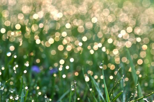 morning sunlight macro green water grass gold bokeh sparkle dew sparkly sparkling morningdew bladeofgrass bladesofgrass 100mmf28 morningsunlight canoneos50d bitofpurple