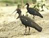 Red-Naped Ibis(Pseudibis papillosa) by Nanimuroor