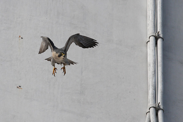 Peregrine (Falco peregrinus) March  2012 , Manchester, 180 Flickr A.Dancy