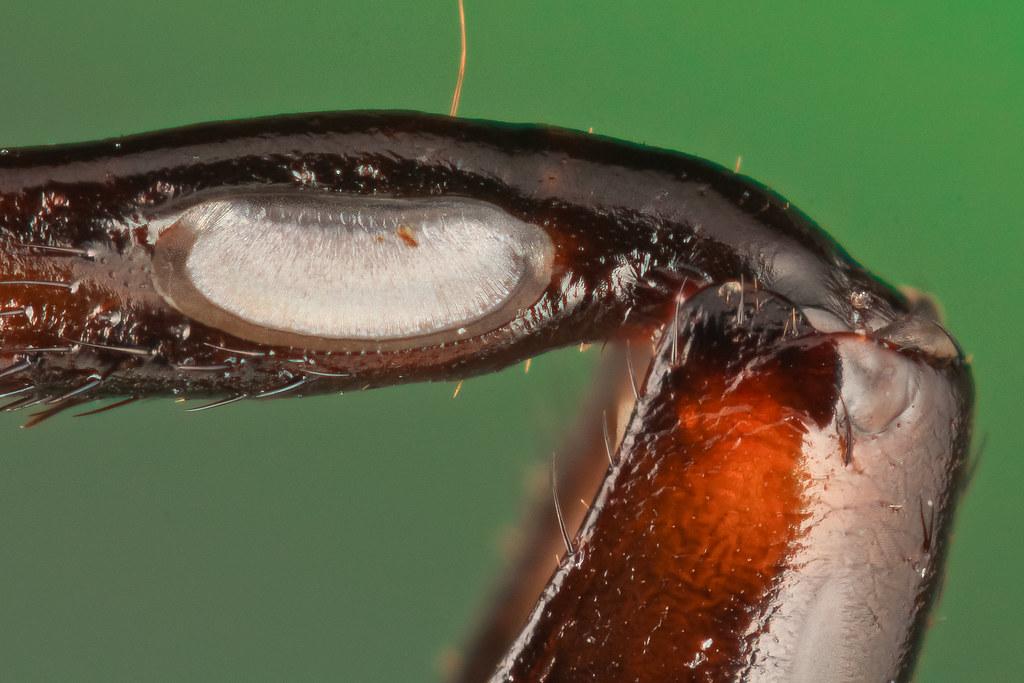 black cricket (Gryllus bimaculatus) - tympanal organ